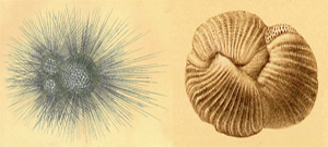 What are Foraminifera and Forams