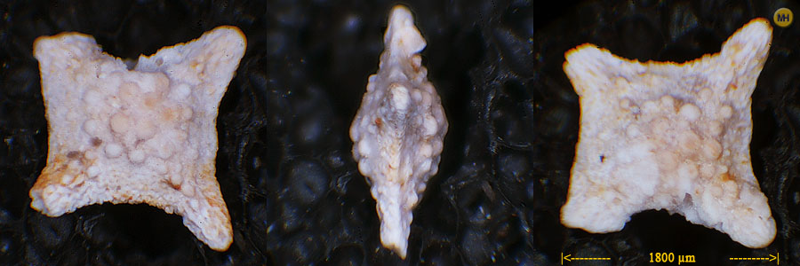 Siderolites calcitrapoides, Curfs