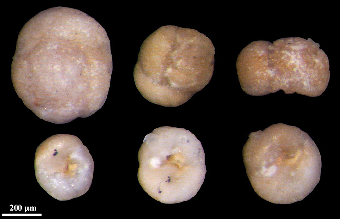 Rosalina globularis, Foraminifera, Pinnow, Germany