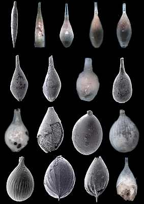 Foraminifera illustrate evolution, Lagenidae, Kobrow, Oligocen