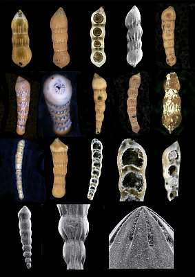 Foraminifera illustrate evolution, Nodosaria intermittens, Kobrow