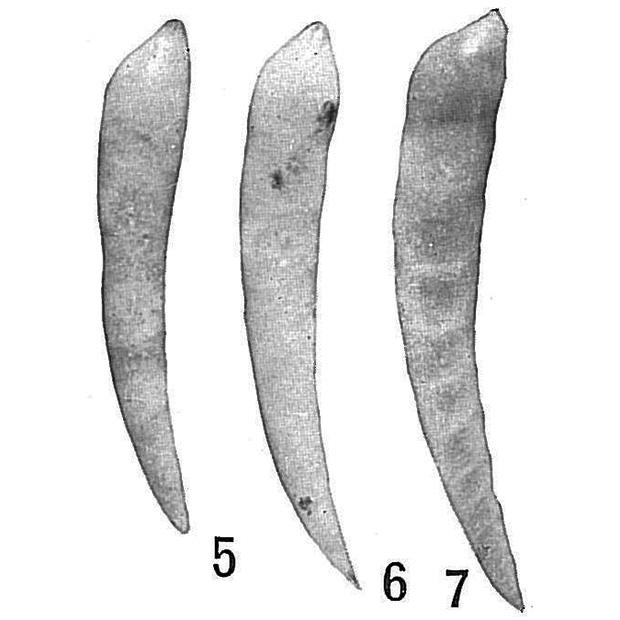 Laevidentalina mucronata,,,recent,Holocene,Quaternary